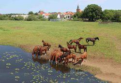 Pferde auf den Allerwiesen in Verden